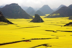 Rape(Canola) Seed Fields, China